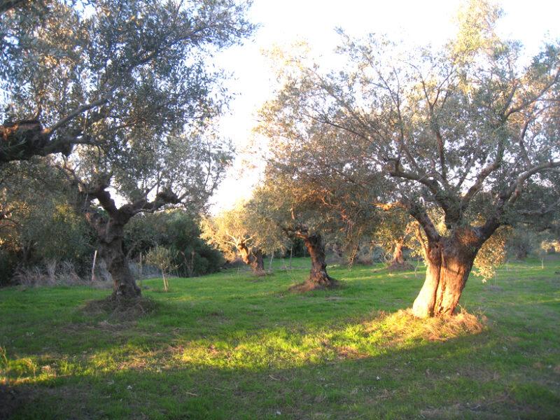 L'oliveraie Bio © Trois Tortues agrotourisme ecogite, ecotourisme vacances nature
