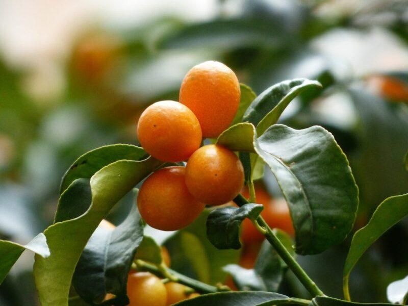 kumquat de ile de corfou en grece