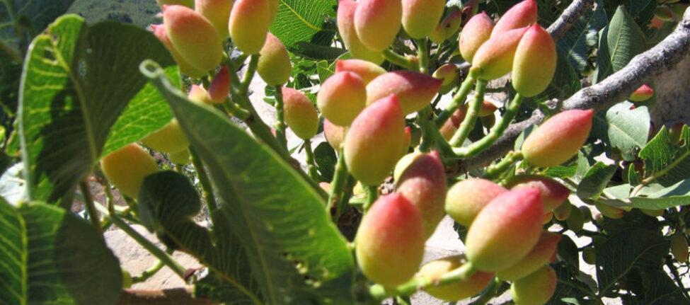festival de la pistache a egine