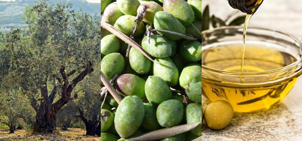 Lesbos et son oliveraie d'onze millions d'arbres