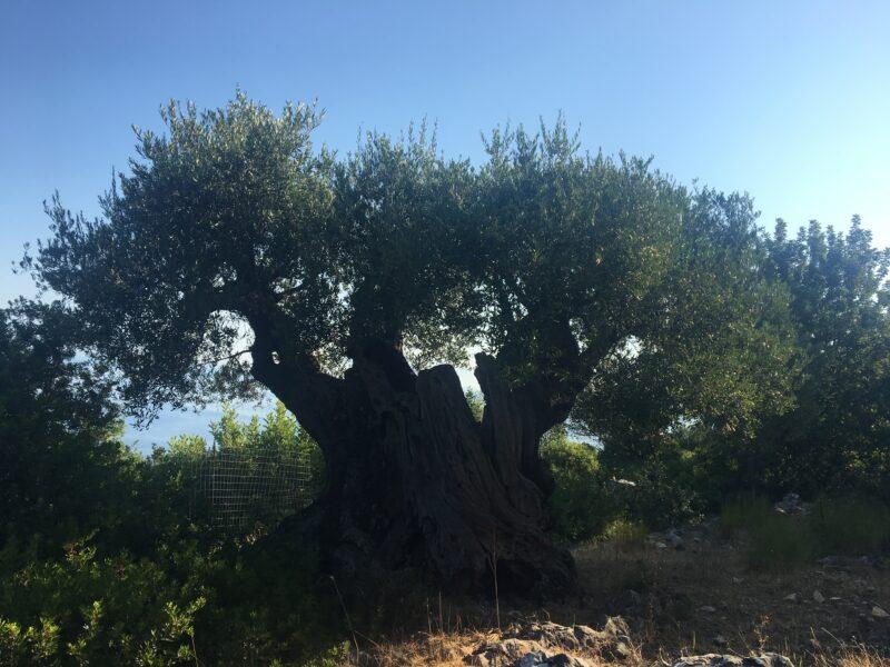 paxos oliviers ballades promenades bord de mer depuis lakka